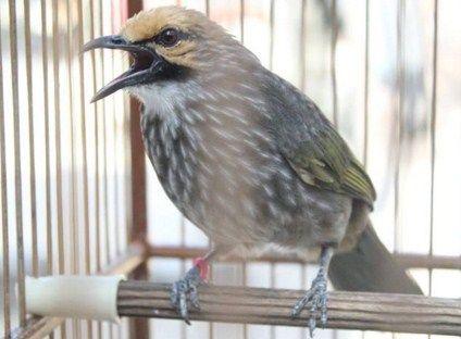 Cara Membedakan Cucak Rowo Jantan Dan Betina Akurat Burung Betina Habitat