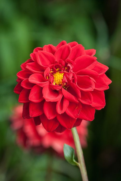 Dahlia Boom Boom Red Early August One Of The Biggest Ball Type Dahlias In 2021 Beautiful Flowers Dahlia Flowers