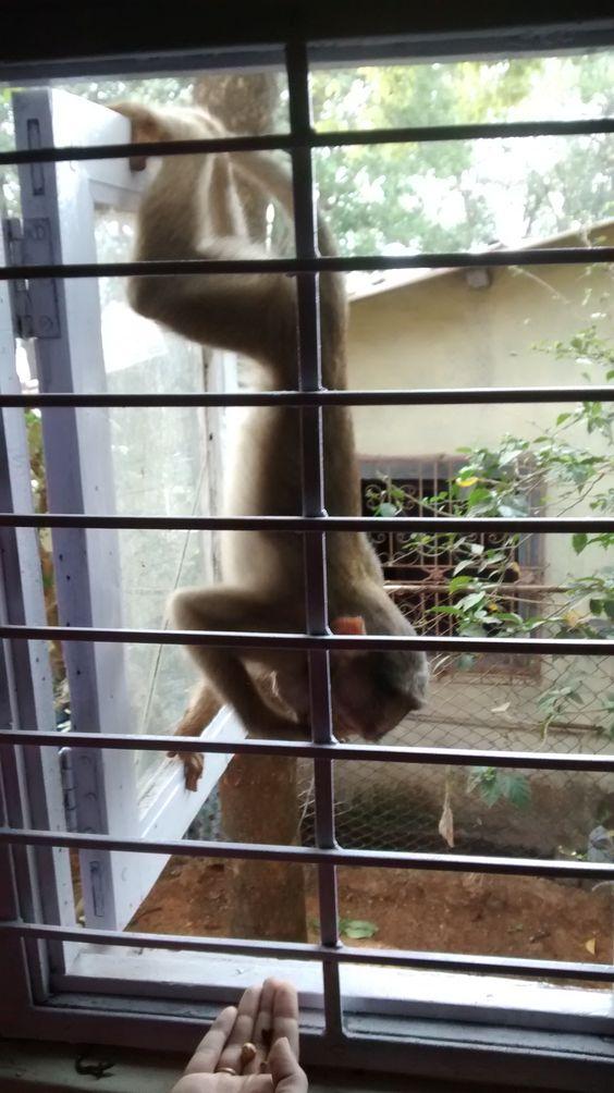 Monkey displaying tricks outside bedroom window