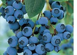 Bluecrop Blue Crop Blueberry Bushes, Blueberry Plants, Blueberries - Order for sale