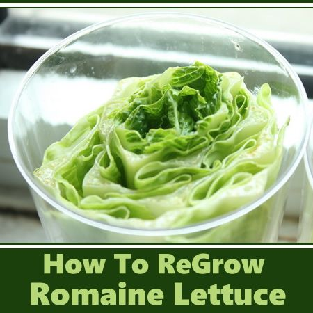 How To Regrow Romaine Lettuce Gardening Self Sufficiency Pinterest Read More Gardening