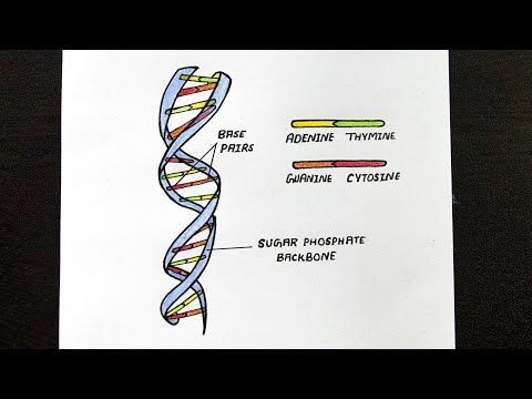Diagram Of Dna Double Helix How To Draw Dna Double Helix Structure Class 12 Biology Youtube In 2020 Double Helix Helix Dna