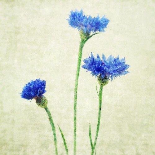 brilliant blue bachelor button flowers