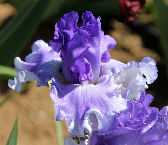 TB Iris germanica 'Ice Planet' (Tasco, 2013)