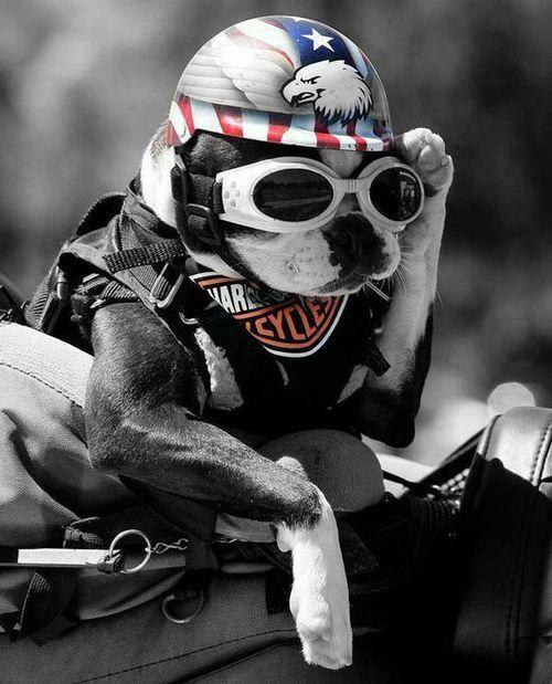おしゃれでかっこいいライダースタイルの犬の壁紙