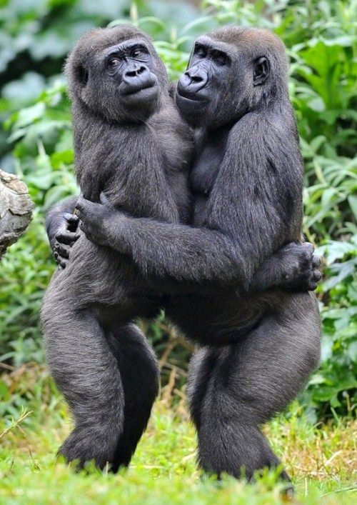 funny pictures of people dancing | Funny gorilla pics ...