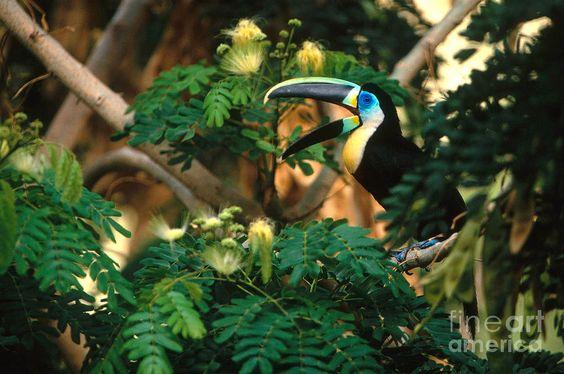 Ramphastos citreolaemus