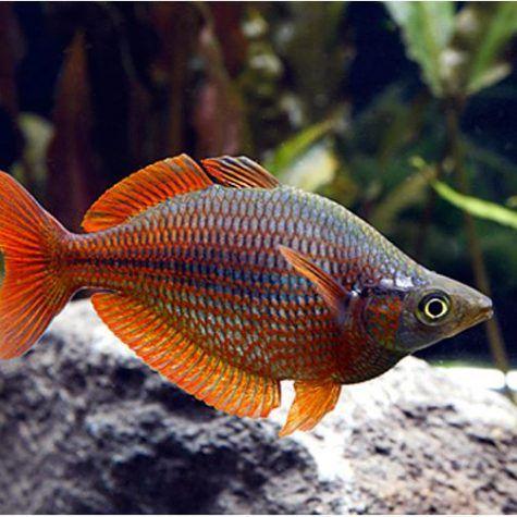 Millennium Tropical Rainbowfish Arizona Aquatic Gardens Planted Aquarium Fish Aquarium Fish