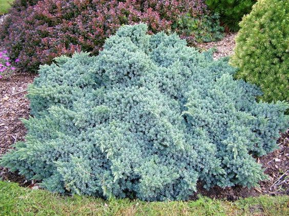 Juniperus squamata 'Blue Star'; full sun; 2-3'; spread 3-4'; forms tight-mounded shape