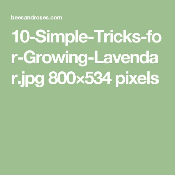 10-Simple-Tricks-for-Growing-Lavendar.jpg 800×534 pixels