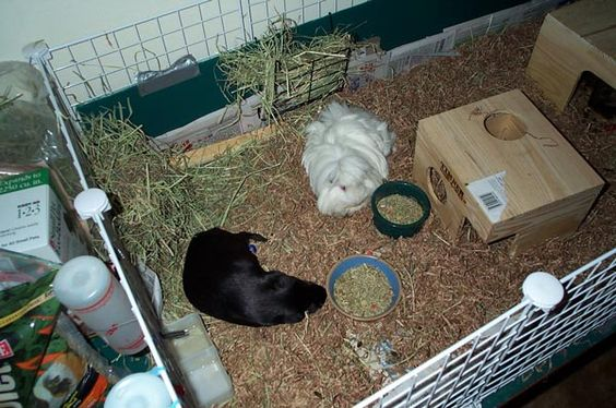 Cleaning line your cage with newspaper for easy cleaning for How to clean guinea pig cages