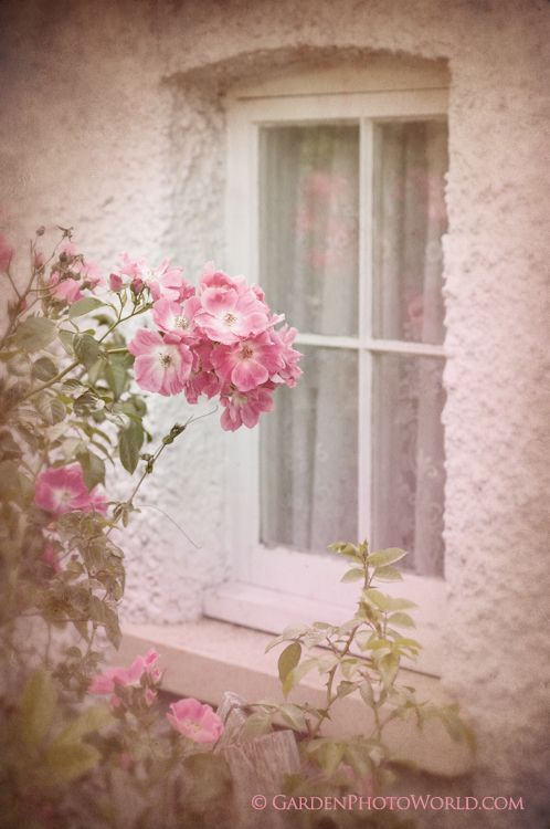 Roses by the window: