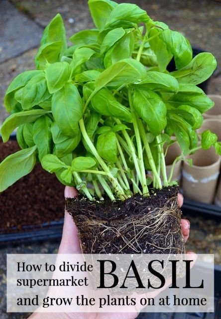 How to divide grocery store Basil into individual plants. Contrary to what some say, this is not difficult and the plants you end up with are strong, healthy and best of all, save you money | Lovely Greens