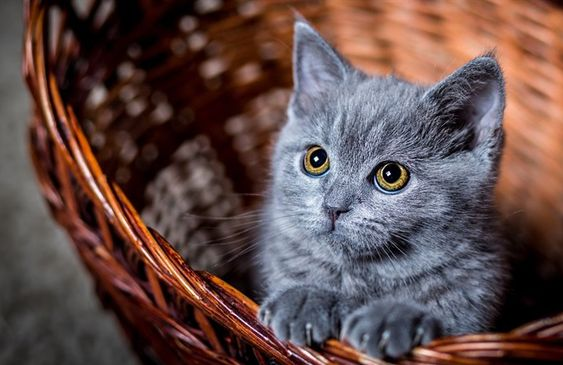 Russian Blue Cat Price Adoption Guide Diet Petco Near Me In 2020 Grey Kitten Cats And Kittens Russian Blue Cat