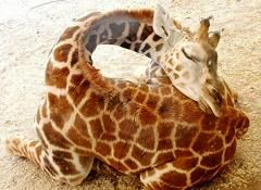 i love giraffes, but they have an awfully weird way of sleeping.. #looksuncomfortable