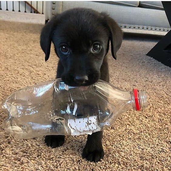 Labrador Retriever Dog Price Buy Kci Registered Labrador