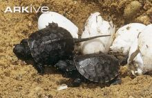 European pond turtle eggs and hatchlings