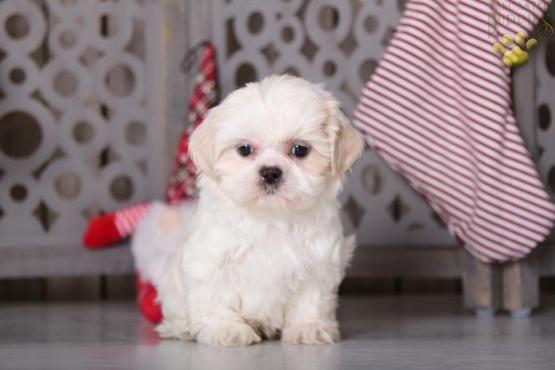 Shihtzu Shihtzupuppy Shihtzudog Shihtzucorner Charming Puppiesofpinterest Pinterestpuppies Lancasterpuppies Puppies Shih Tzu Puppy Puppies Shih Tzu