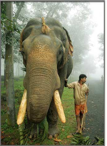 Kerala: Elephants People, Loves Animals Elephants, Incredible India, Elephant Kerala, Elephants Kerala, Kerala India, India Kerala
