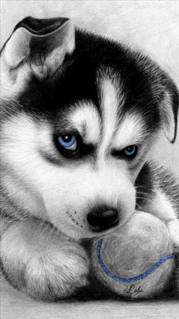 Buy or sell siberian husky puppies online at https://www.dogspuppiesforsale.com/siberian-husky 2014-04-17 360×640 píxeles