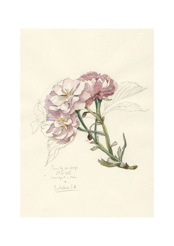 cherry blossom 1 aquarell bleistift zeichnung botanische. Black Bedroom Furniture Sets. Home Design Ideas