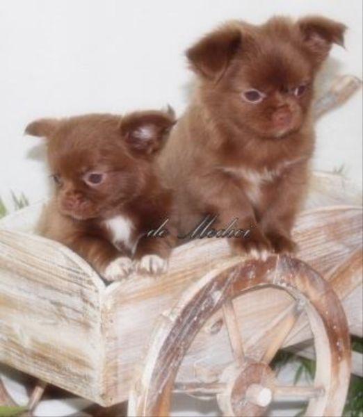 Chihuahua Welpen Zuckersuss Und Typvoll Aus Serioser Hobbyzucht In