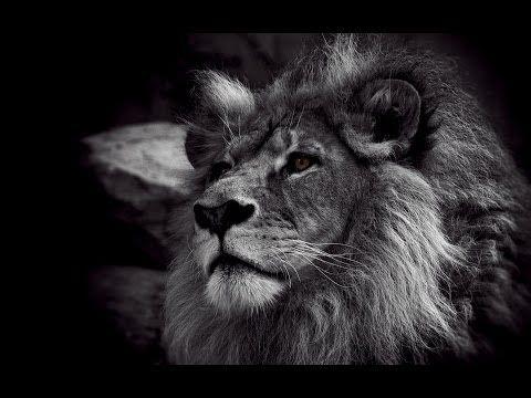 Lions Vs Kevin Richardson Youtube Menggambar Singa Singa Gambar