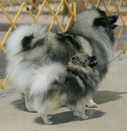 Wolf Sable Pom...and K...
