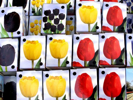 Tulipanes negros, amarillos y rojos