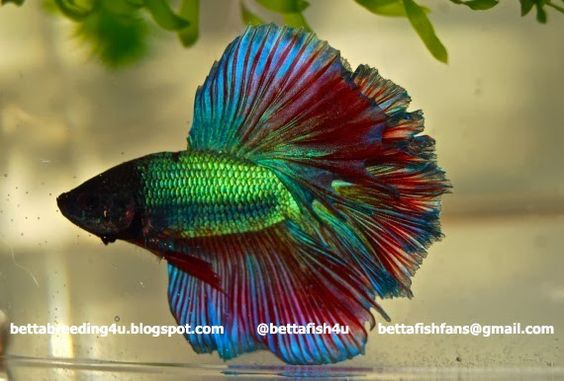 Fancy halfmoon betta fish: