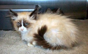 Ragdoll/Mix - Seal/White - Point3 y 5 m 26 d , DOB: 7/7/2010, Altered: Yes, Size: Small, Weight: 1.94 poundFor complete information on this pet, please visit our website at www.canyoncountyshelter.org or submit an email to...