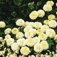 White Vanilla Marigolds: White Annual, Fragrant Plant, Flowers Plants, Annual Flowers, Vanilla Marigold, Beds Seeds, Marigold Purchase
