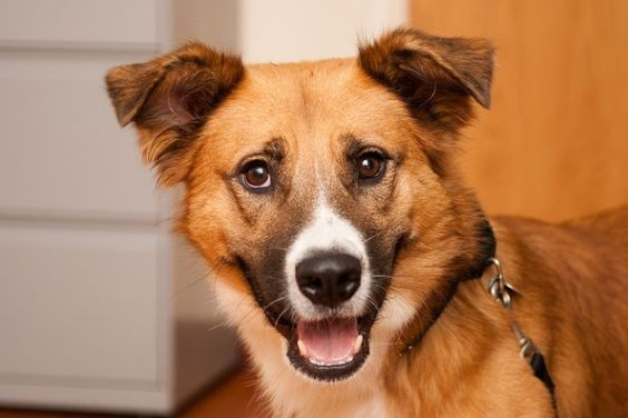 Condan, Collie - Shepherd, 3 years, Male Condan is a deserving Collie-Shepherd mix who would love to be the newest addition to your family! While Condan sure is... - Find me on pawschicago.org!