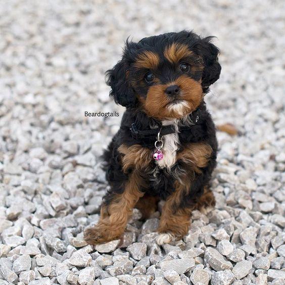 #humpday honey  #matildabeardog photo by @the_newborn_photographer  #flashback #prettypuppy #dogsofinstagram by beardogtails