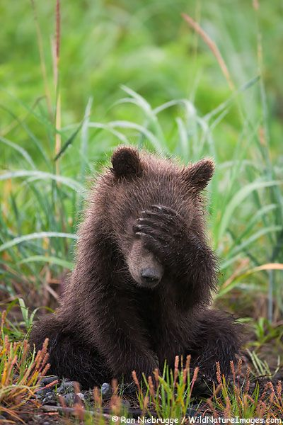 """#Even bears hate Mondays ...""""It's a tough life"""" Grizzly Bear cubs are very cute and playful.� Lake Clark National Park, Alaska"""