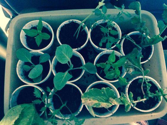 en la noche del día 7 de mayo se pasaron a los vasos con tierra las plantas que nos dio nuestro consultor. En una semana seran trasladadas a la jardinera.