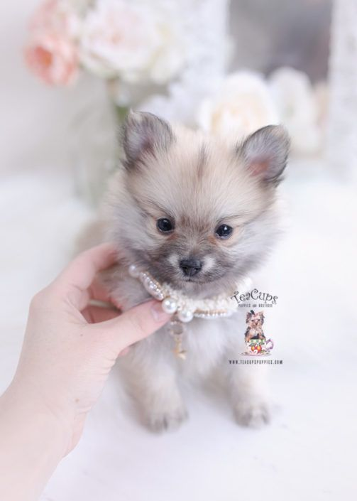 Tiny Pomeranian Puppy For Sale Teacup Puppies 412 A Teacup Puppies Teacup Puppies For Sale Puppies For Sale