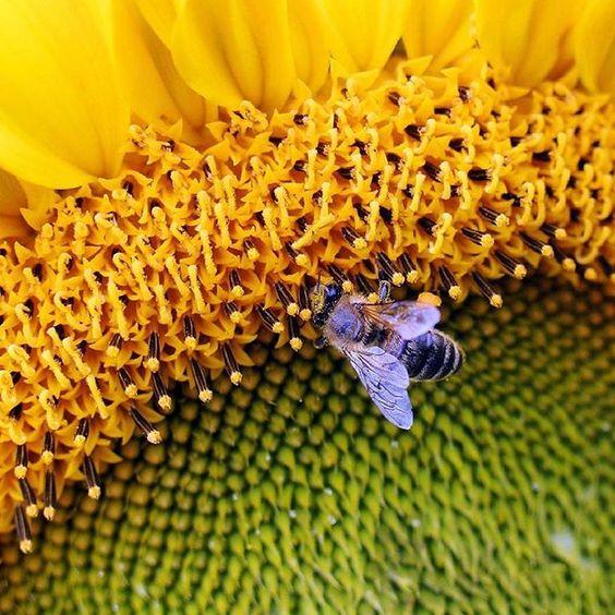 L'#ape il #girasole in un giardino di #Colonia #Cologne #garden #bee #sunflower #sun #nature