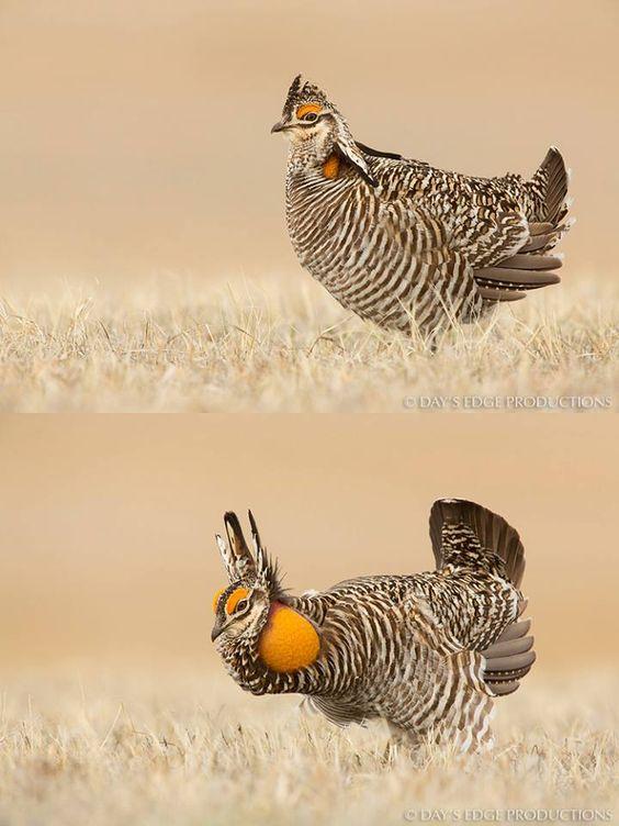 Prairie chicken: