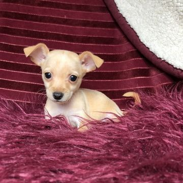 Chihuahua Puppy For Sale In Houston Tx Adn 63975 On Puppyfinder Com Gender Male Age 9 Weeks Old Chihuahua Puppies Chihuahua Puppies For Sale Puppies