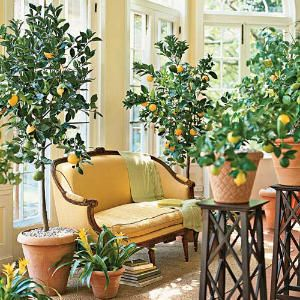 Indoor Lemon and Orange Trees