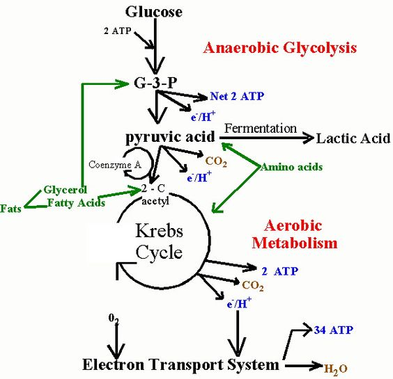 anaerobic metabolism | Science | Pinterest | Muscle, Note ...