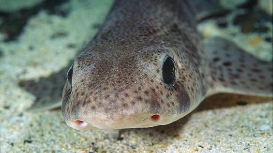 """ein Katzenhai -- Der Katzenhai heißt auf Englisch """"Dogfish""""."""