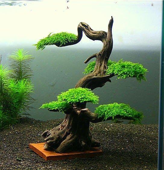 A Carefully Constructed Java Moss Bonsai Tree Bonsai Tree Care Indoor Bonsai Tree Bonsai Tree