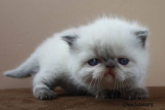Exotic shorthair, Exotic and Kittens on Pinterest