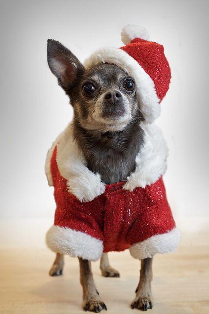 molly the chihuahua  is santa baby