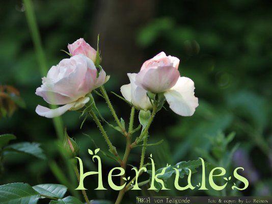 rosa herkules | Rose Herkules