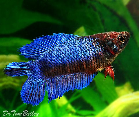 Female betta fish for sale at fish for Beta fish for sale
