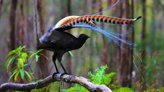 Superb lyrebird in Marysville State Forest, Australia (© Donovan Wilson/500px)