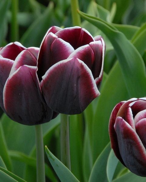 Tulip Alexander Pushkin Tulips Purple Tulips Alexander Pushkin